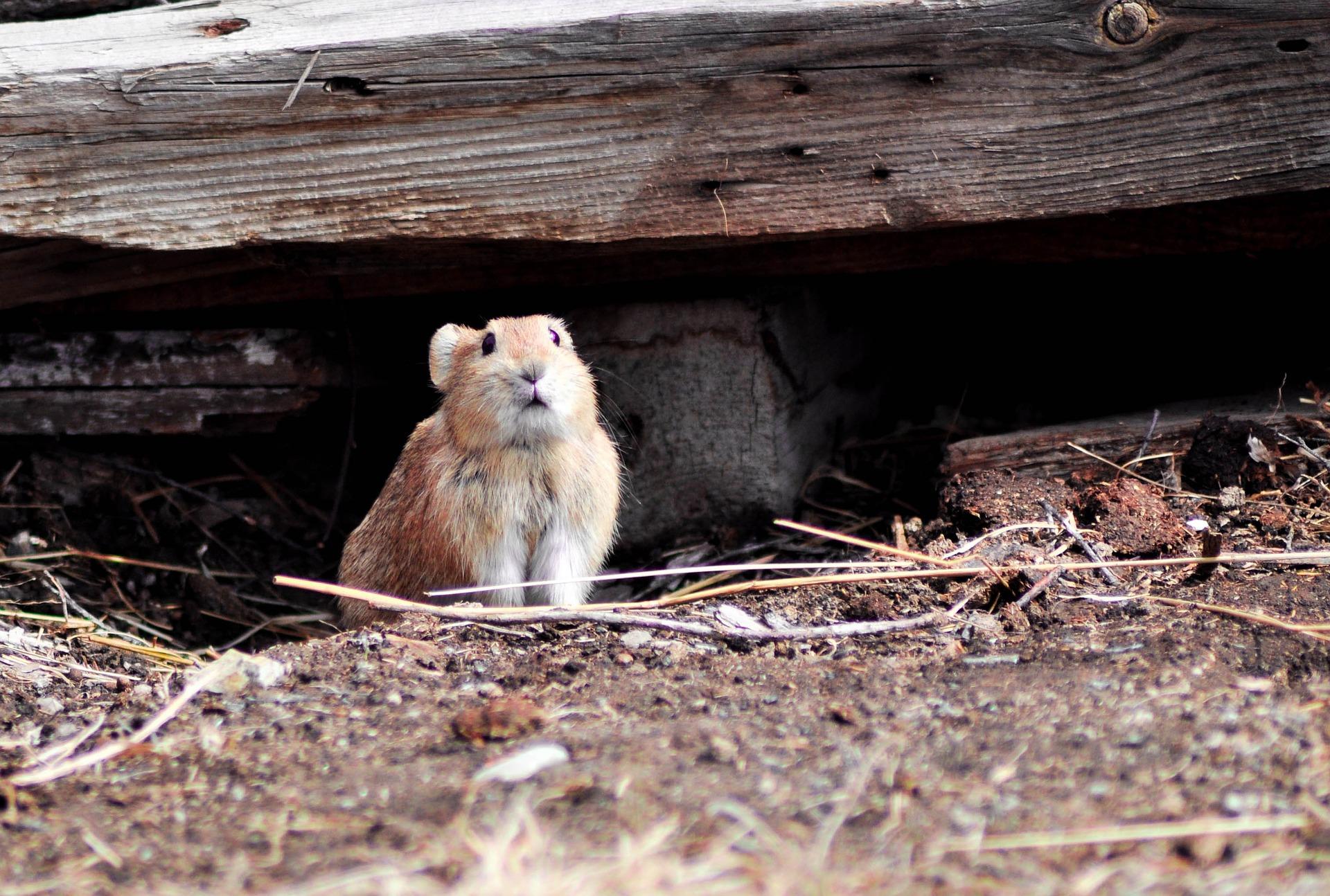 rodent75663-1452681280-11.jpg