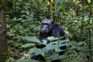 chimpanzee8-1452679801-56.jpg